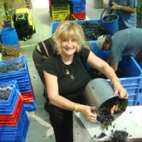 Orna Chillag receive Carignan grapes grapes to